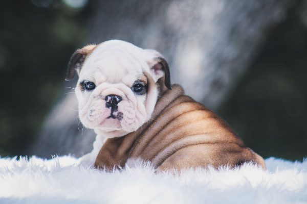 Exotic and Rare English Bulldogs Pups – Breeding for real colors