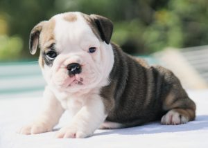 DREAMYBULLDOGS