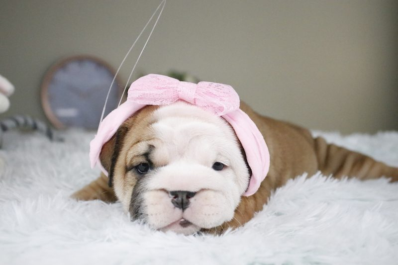 english bulldog for sale, puppies for sale in Florida, puppies available, best english bulldog, bulldog breeders in florida, bulldog puppies, bulldogofinstagram, miami, port st lucie