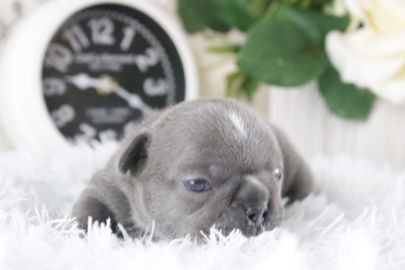 french bulldog for sale, puppies for sale in Florida, puppies available, best french bulldog, bulldog breeders in florida, bulldog puppies, bulldogofinstagram, miami, port st lucie , blue french bulldog