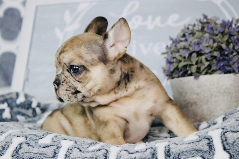 french bulldog for sale, puppies for sale in Florida, puppies available, best french bulldog, bulldog breeders in florida, bulldog puppies, bulldogofinstagram, miami, port st lucie