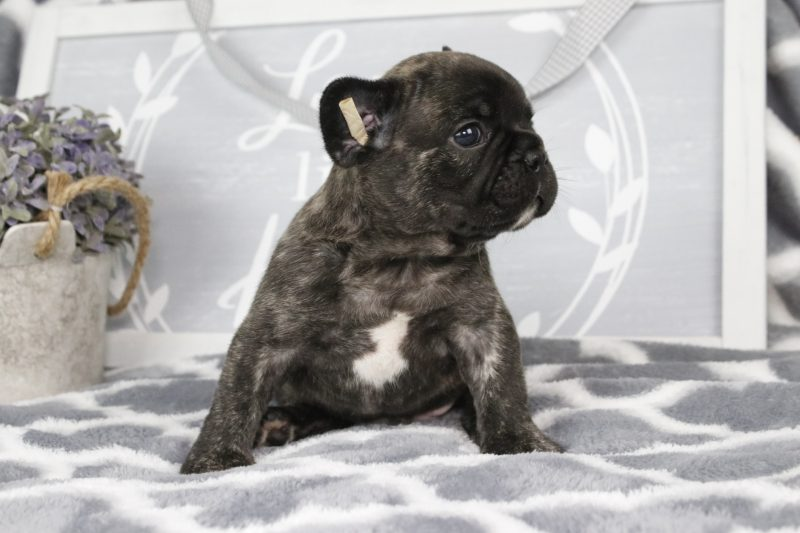 french bulldog for sale , puppies available, puppies for sale, breeders in Florida