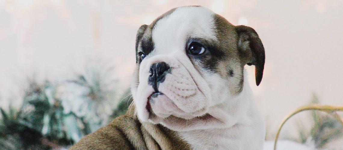 englishbulldog,englishbulldogmiami,englishbulldogflorida,babybulldogs,bagyenglishbulldog,bulldogsforsalemiami,bulldogsinmiami,englishbullogsell,buyenglishbulldoginmiami